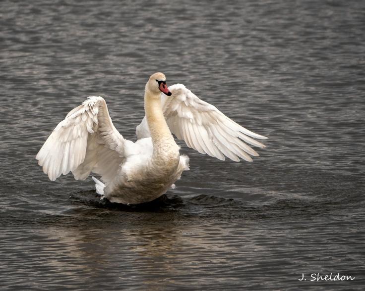 Mute Swan 1(s)