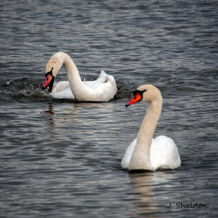 Mute Swan 3(s)