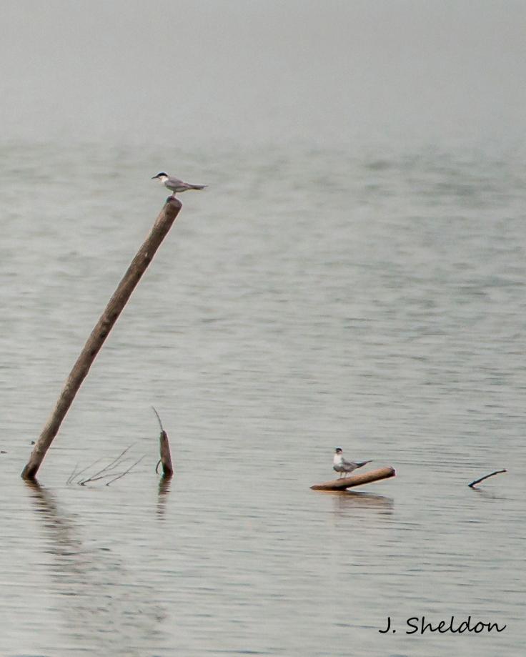 Forsters Tern 1(s).jpg