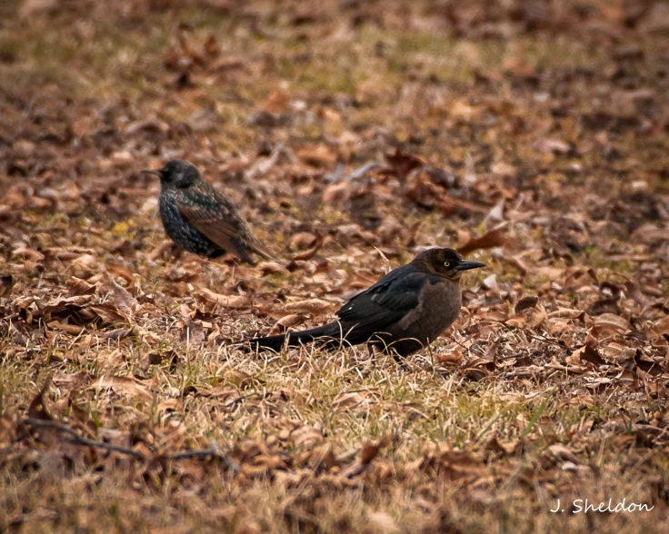 Grackle 1(s)