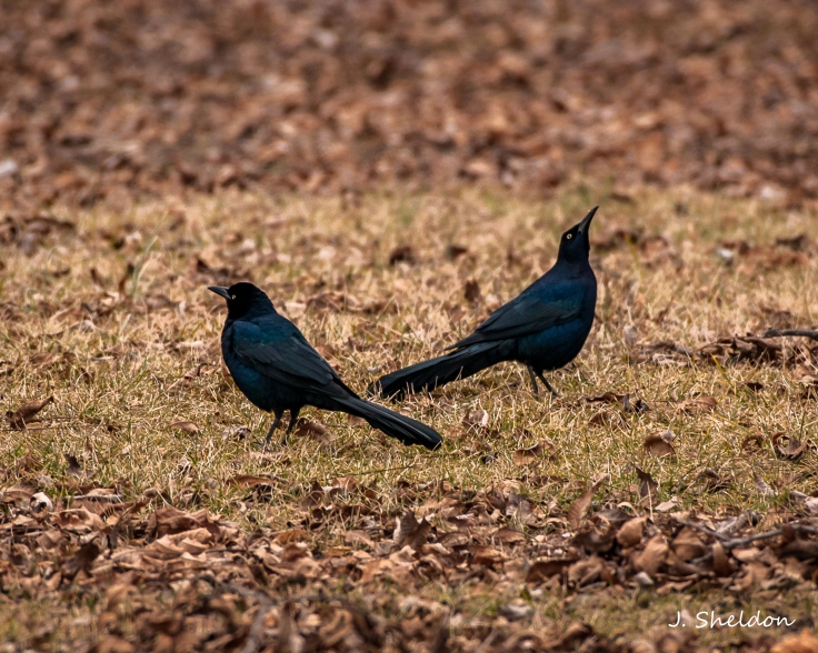 Grackle 2(s)