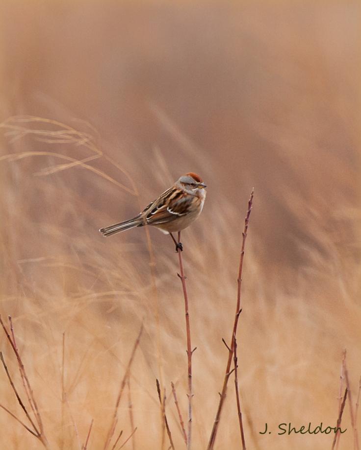 Tree Sparrow 4(s)