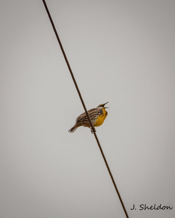 Meadowlark 2(s).jpg