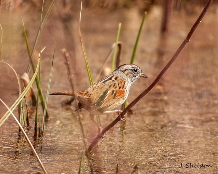 sparrow 1(s)
